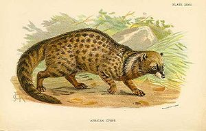 African civet - Drawing of African civet