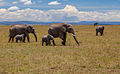 African elephants in Maasai Mara National Reserve - Kenya.jpg
