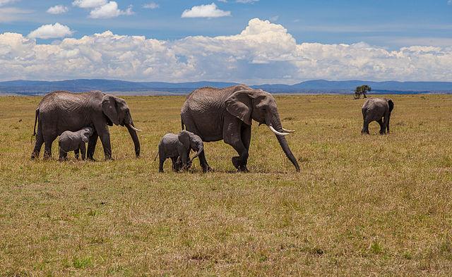Elefanter i Masai Mara, Kenya.