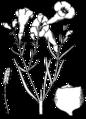 Agalinis linifolia drawing.png
