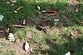 Agama femelle ponte d'œufs 08.jpg