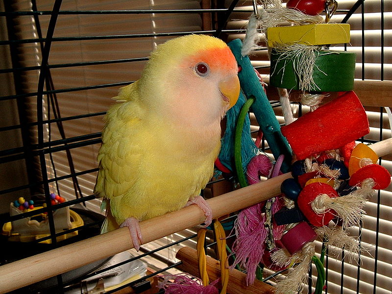 File:Agapornis roseicollis -mutation -in cage with toys.jpg