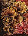 Agarum clathrus Brockhaus 14.jpg