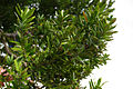 Agathis australis, Matakohe, New Zealand.jpg