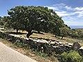 Aged oak tree.jpg