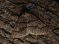Agriopis marginaria ♂ - Dotted border (male) - Пяденица-обдирало жёлто-серая (самец) (40726742405).jpg
