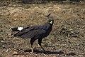 Aguila Negra Buteogallus Urubitinga (27624909).jpeg