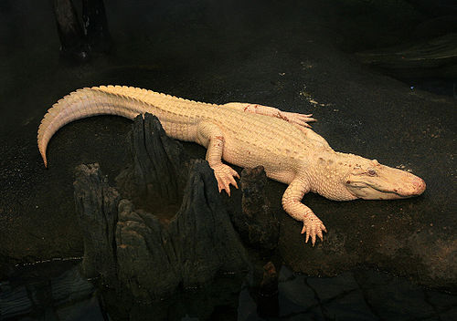 Albino-Alligator