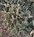 Alhagi maurorum bush.JPG