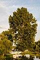 Aliso común (Alnus glutinosa), espacio natural protegido Dunarea Veche, Macin, Rumanía, 2016-05-28, DD 102.jpg