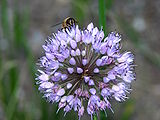 Allium-senescens-and-bee-0b.jpg