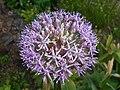 Allium aflatunense 2016-05-17 0725.jpg