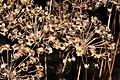 Allium ramosum seeds.JPG