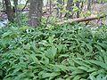 Allium ursinum BavariaMay2005b.jpg