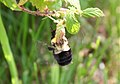 Almost a Flying Bee in Focus (4787866230).jpg