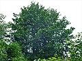Alnus glutinosa - crna jova na obali Grliške reke.jpg