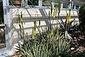 Aloe vera 14zz.jpg