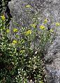 Alyssum montanum ENBLA05.jpg