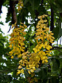 Amaltas (Cassia fistula) in Hyderabad, AP W 288.jpg