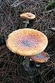 Amanita muscaria (9) (30741597236).jpg