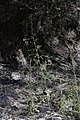 Amaranthus-albus-Galargues-Benovie-JohnWalsh.jpg