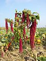 Amaranthus caudatus sl3.jpg