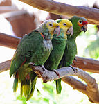 Amazona -two species -captive in Mexico-8a.jpg
