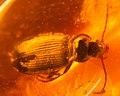 Amber detail, Borostyánkő rovarcsapda (cropped).jpg
