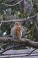 American Red Squirrel (Tamiasciurus hudsonicus) - Kitchener, Ontario.jpg
