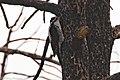 American Three-toed Woodpecker (female) Signal Burn Gila NF NM 2017-10-18 09-09-03 (38192293505).jpg