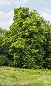 Amerikaanse linde (Tilia americana). Locatie Hortus Haren.jpg