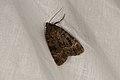 Amphipyra berbera (36379483481).jpg