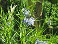 Amsonia hubrichtii hybrid - Flickr - peganum (1).jpg