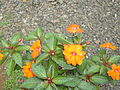 An Orange Flower.JPG