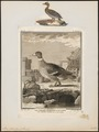 Anas boschas - 1700-1880 - Print - Iconographia Zoologica - Special Collections University of Amsterdam - UBA01 IZ17600379.tif