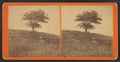 Ancient Nutmeg Tree, near Mount Hope, by W. C. Liscomb.png