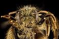 Andrena gnaphalii, f, face, Santa Barbara, CA 2016-08-12-17.38 (30027841762).jpg