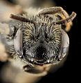 Andrena melanochroa, F, Face, NC, Moore County 2014-01-07-16.01.58 ZS PMax (12051207274).jpg