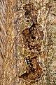Andricus quercuscorticis on Quercus sp. (31918830095).jpg