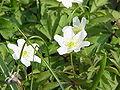 Anemone nemorosa1.jpg