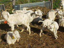 Angora goats.jpg