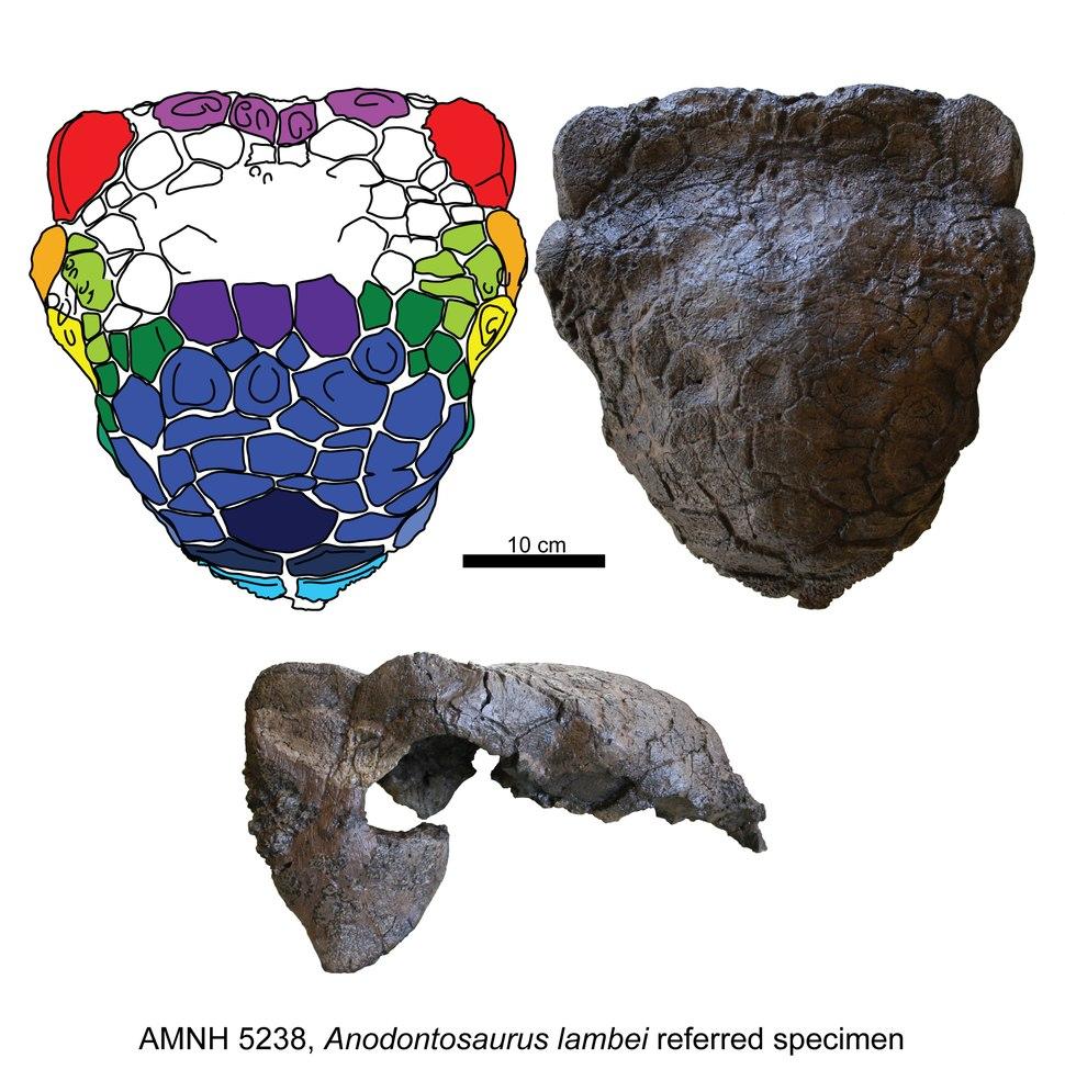 Anodontosaurus AMNH 5238