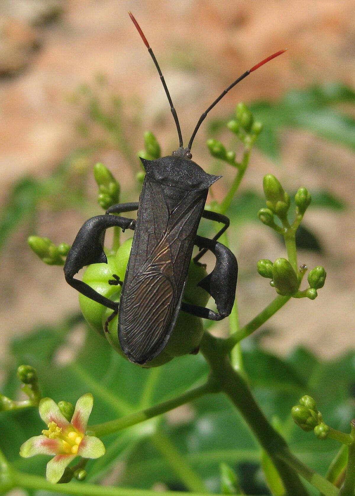 Coreidae - Wikipedia
