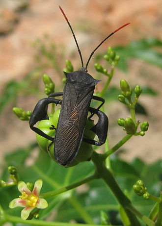 Coreidae - Anoplocnemis curvipes with typical enlarged hind femora