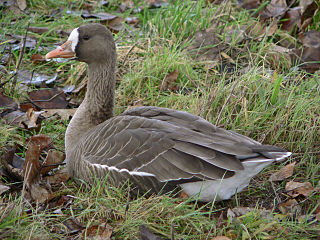 Greater white-fronted goose species of bird