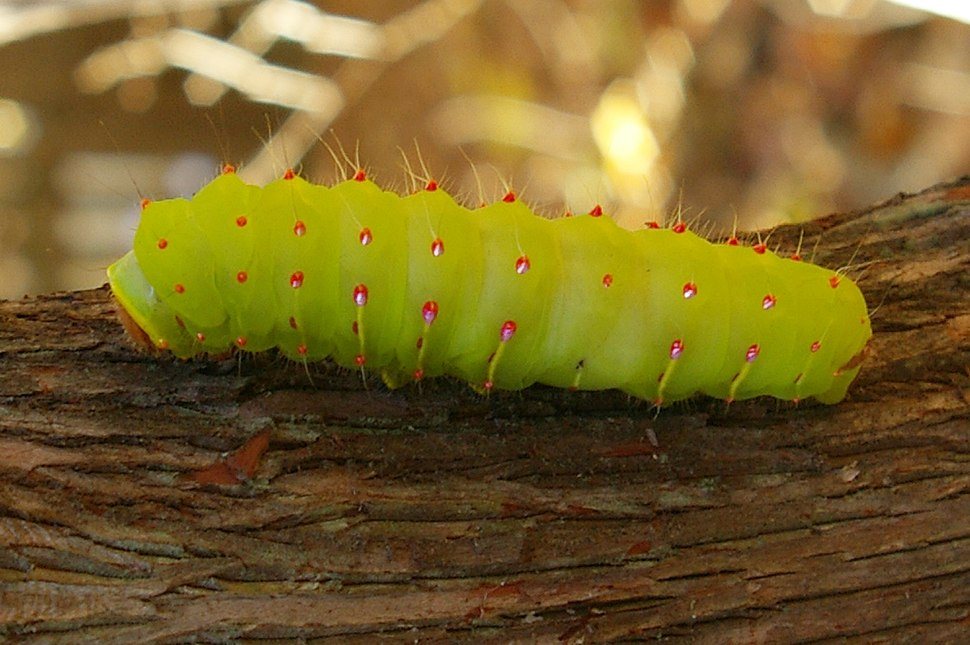 AntheraeaPolyphemusCaterpillar