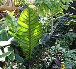 Anthurium superbum - Bloedel Floral Conservatory, Queen Elizabeth Park - Vancouver, Canada - DSC07551.JPG