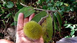Apeiba albiflora - Image: Apeiba albiflora Ducke (8248649493)