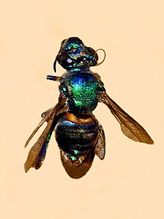 <i>Euglossa cordata</i> species of insect