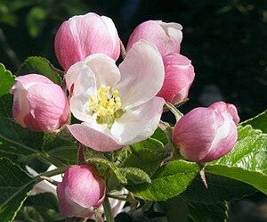 Apple blossom 02B.jpg